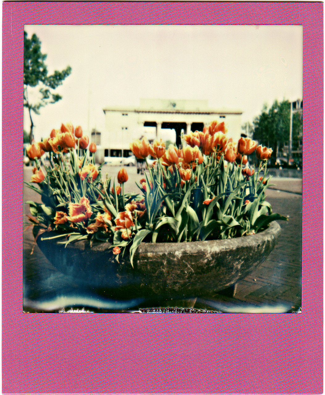 A bed of tulips